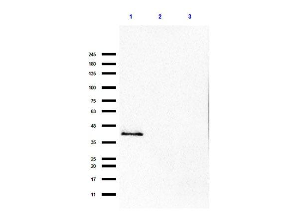 p35 Antibody in Western Blot (WB)