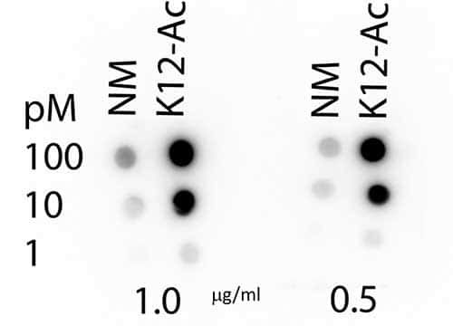 Acetyl-Histone H4 (Lys12) Antibody in Dot blot (DB)