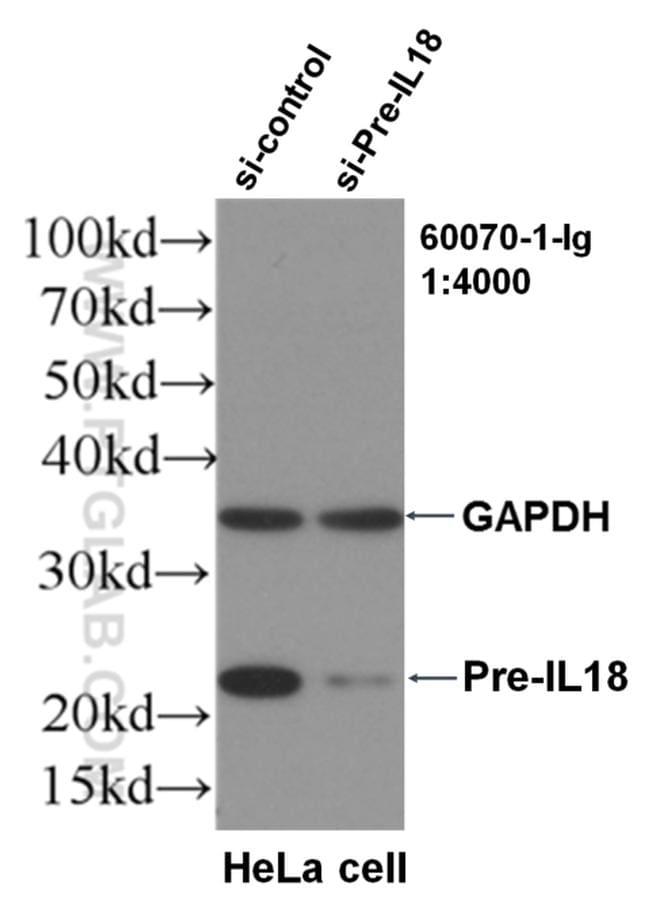 IL18 Antibody in Western Blot (WB)