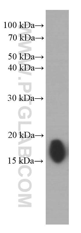IFITM1 Antibody in Western Blot (WB)