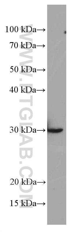Galectin-3 Antibody in Western Blot (WB)