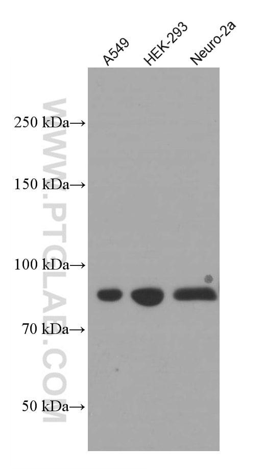 PI3K p85 alpha Antibody in Western Blot (WB)