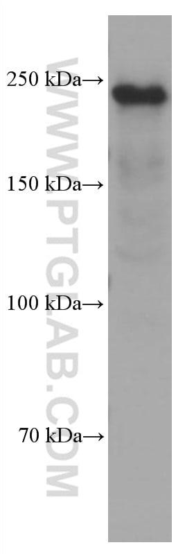 MYH9 Antibody in Western Blot (WB)