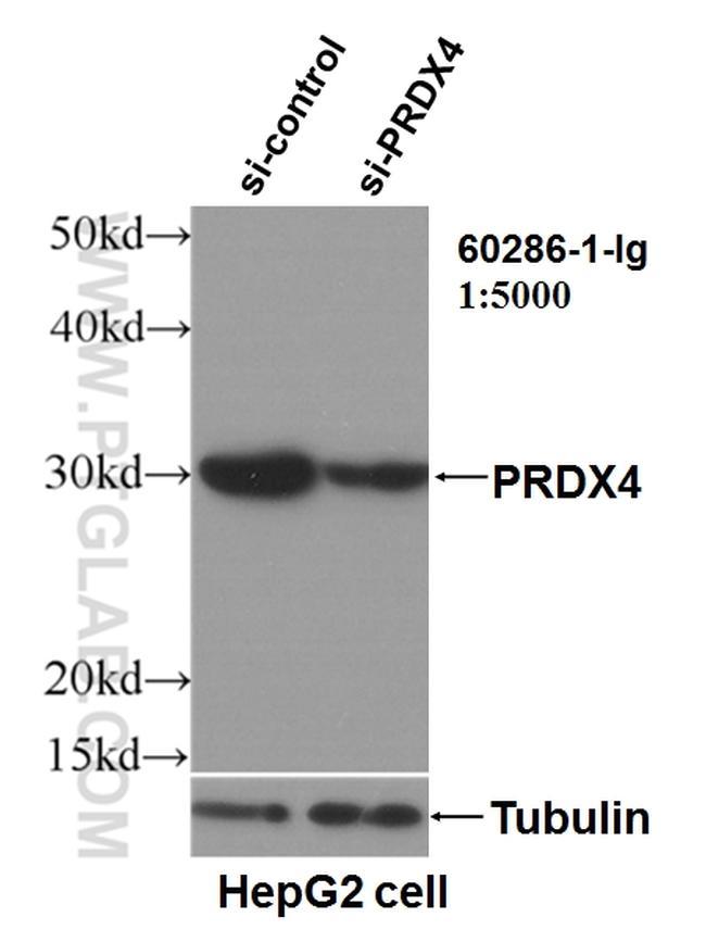 PRDX4 Antibody in Western Blot (WB)