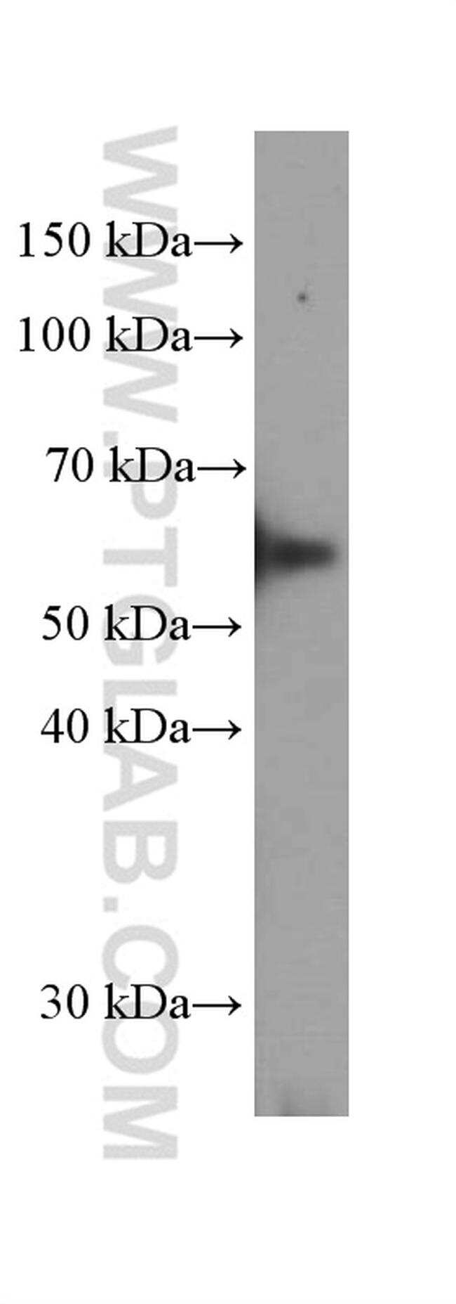 Prostein Antibody in Western Blot (WB)