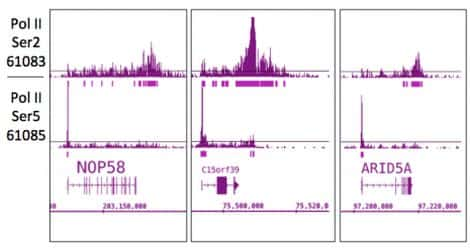 Phospho-RNA pol II CTD (Ser2) Antibody in ChIP-sequencing (ChIP-Seq)
