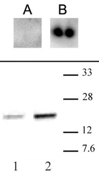 Phospho-CENP-A (Ser18) Antibody in Western Blot (WB)