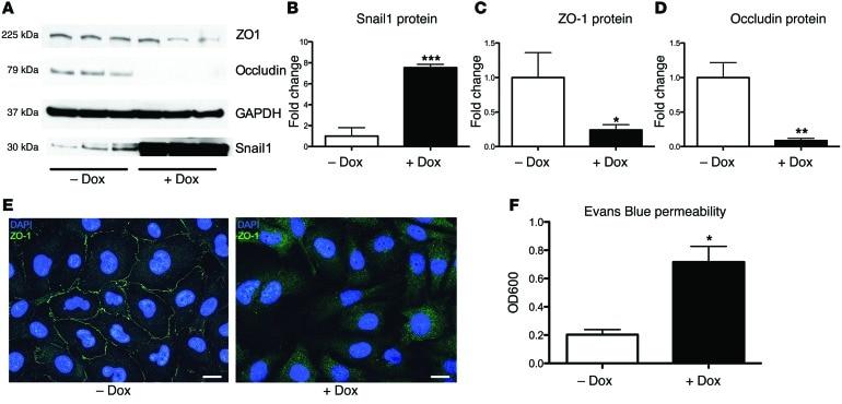 ZO-1 Antibody