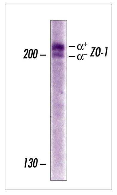 ZO-1 Antibody in Western Blot (WB)