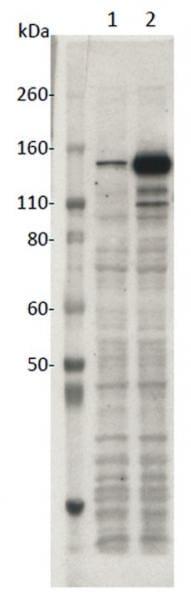 SaCas9 Antibody in Western Blot (WB)