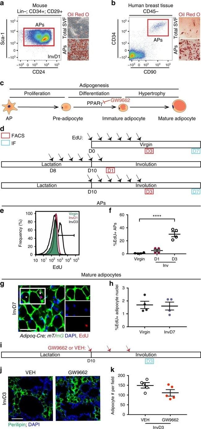 CD31 (PECAM-1) Antibody, Biotin (Monoclonal, 390)