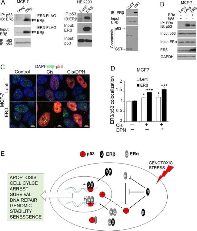 Estrogen Receptor beta Antibody (51-7700)