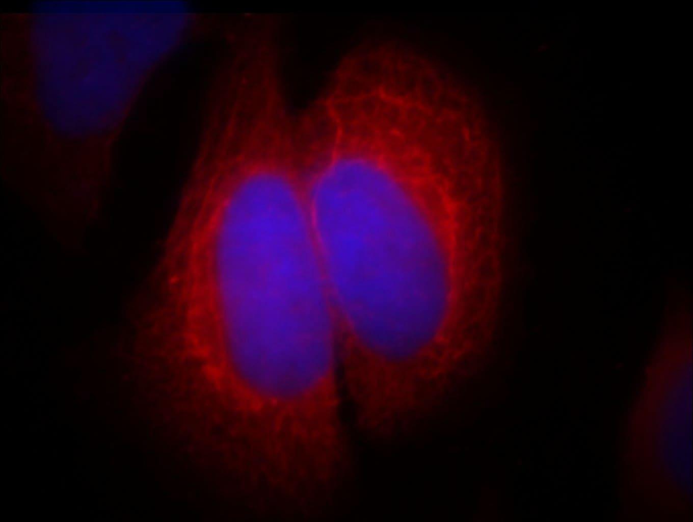 SEC5/EXOC2 Antibody in Immunofluorescence (IF)
