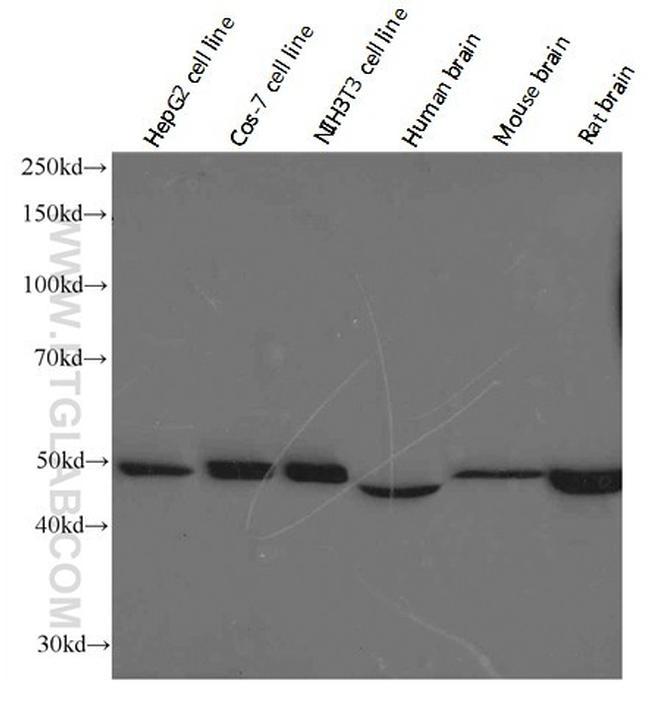ATP5A1 Antibody in Western Blot (WB)