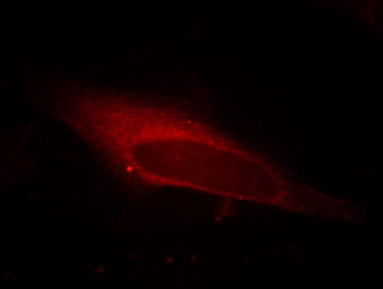 LPCAT1 Antibody in Immunofluorescence (IF)