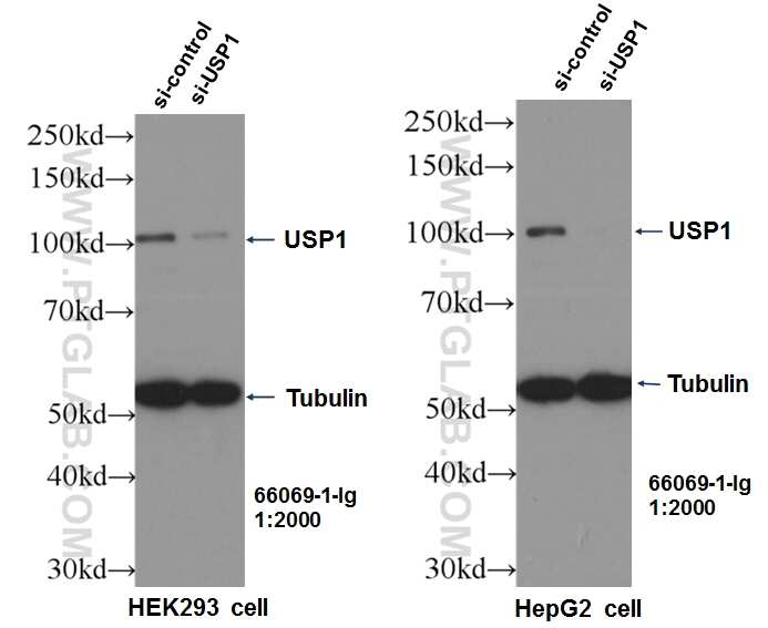 USP1 Antibody in Western Blot (WB)
