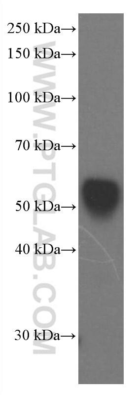 Apolipoprotein H Antibody in Western Blot (WB)