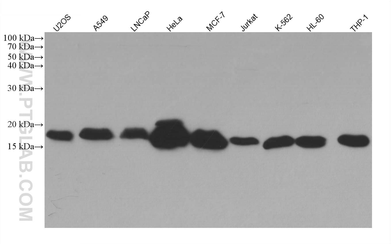 IFITM2/3 Antibody in Western Blot (WB)