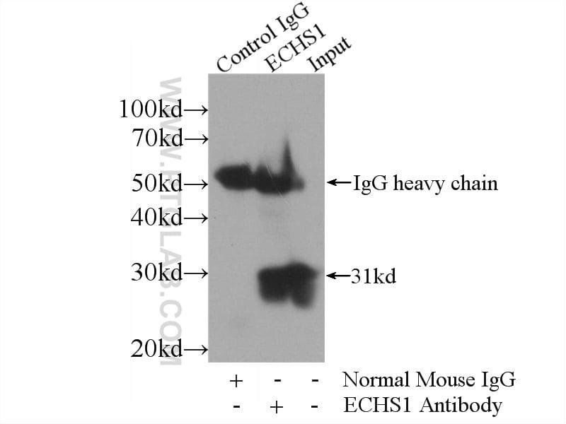 ECHS1 Antibody in Immunoprecipitation (IP)