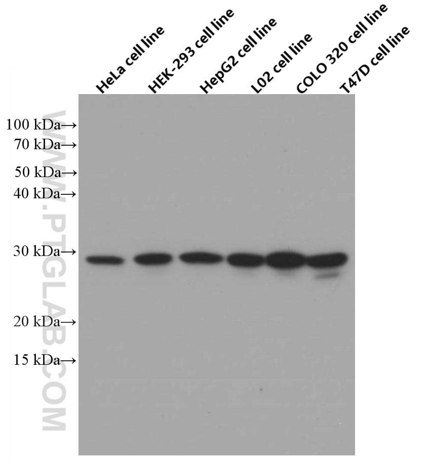 ECHS1 Antibody in Western Blot (WB)