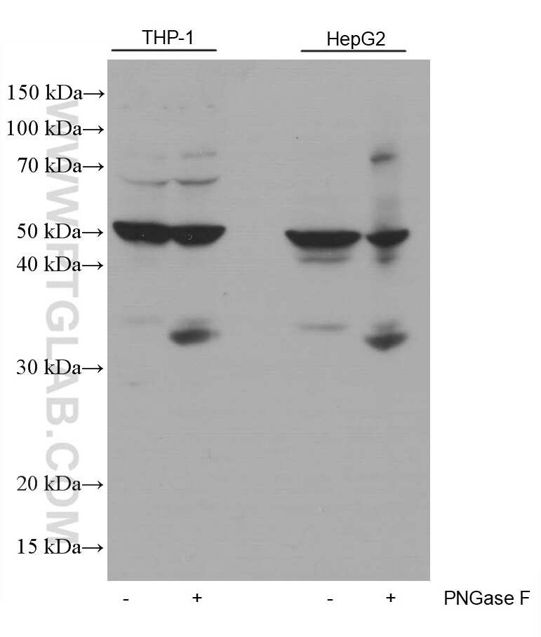 PD-L1/CD274 Antibody in Western Blot (WB)