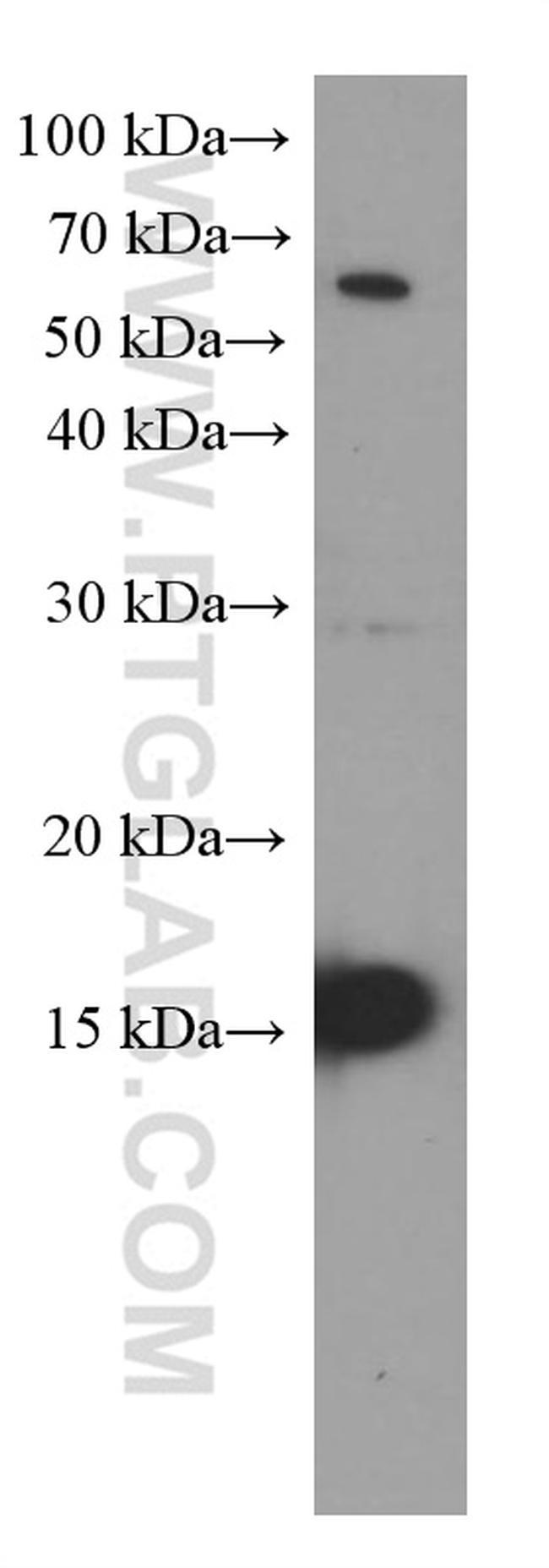 Mcp1 Antibody in Western Blot (WB)