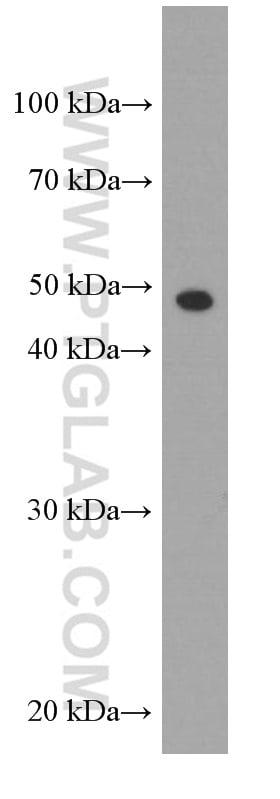 gamma tubulin Antibody in Western Blot (WB)
