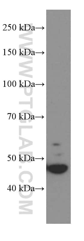 GSDMD Antibody in Western Blot (WB)