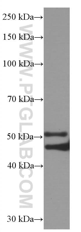 P2RX4 Antibody in Western Blot (WB)