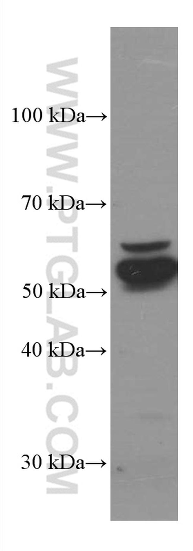 PDIA3 Antibody in Western Blot (WB)