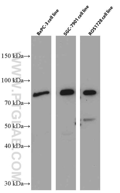 Periostin Antibody in Western Blot (WB)