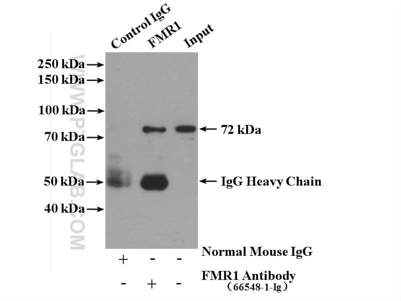 FMR1 Antibody in Immunoprecipitation (IP)