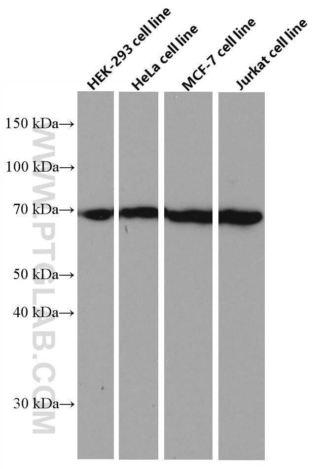 KU70/XRCC6 Antibody in Western Blot (WB)