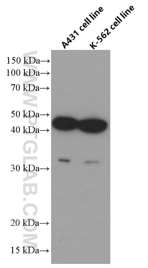 CCRL2 Antibody in Western Blot (WB)