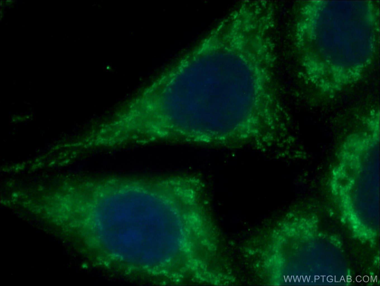 cIAP1 Antibody in Immunofluorescence (IF)