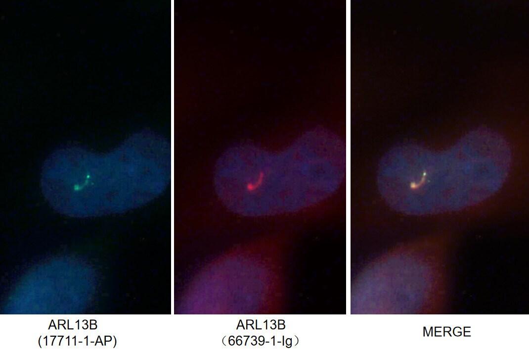 ARL13B Antibody in Immunofluorescence (IF)