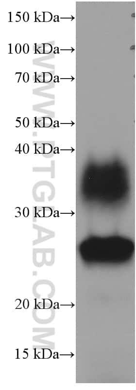 AQP1 Antibody in Western Blot (WB)