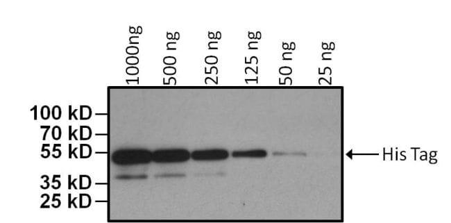 6x-His Tag Antibody in Western Blot (WB)