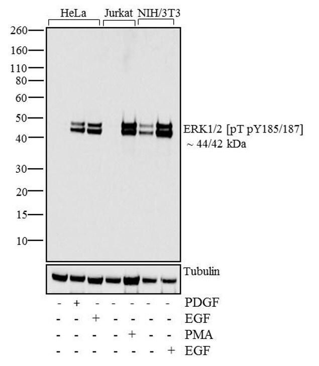 Phospho-ERK1/ERK2 (Thr185, Tyr187) Antibody in Cell treatment