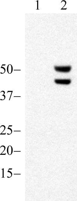 Phospho-JNK1/JNK2 (Thr183, Tyr185) Antibody in Western Blot (WB)