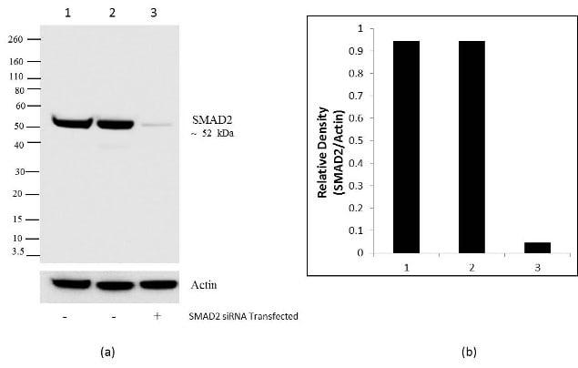 SMAD2 Antibody in KnockDown (KD)