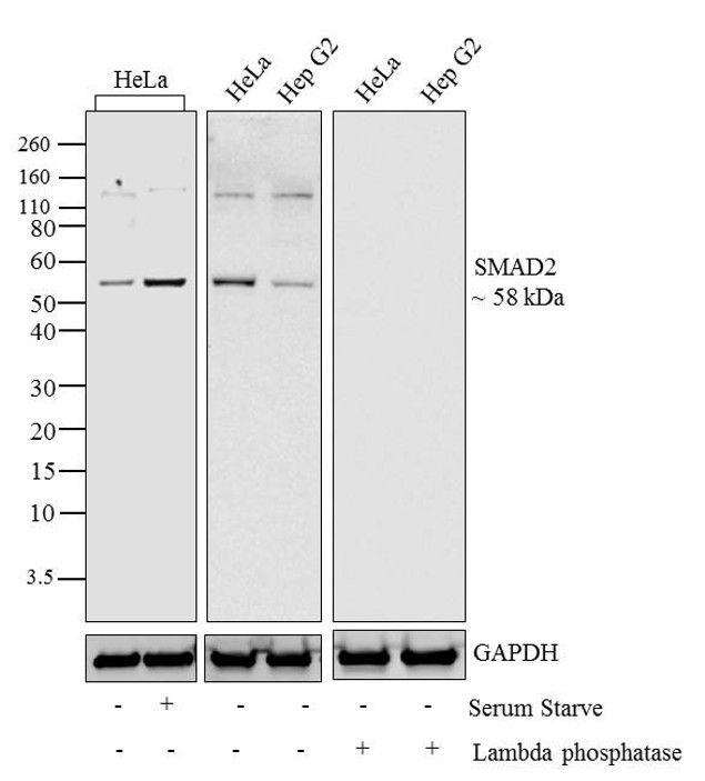 Phospho-SMAD2 (Thr8) Antibody in Western Blot (WB)