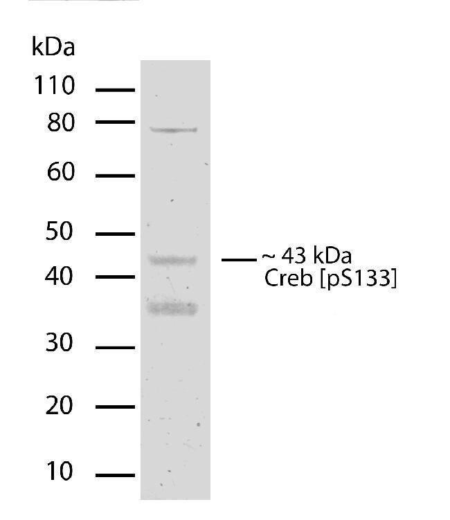 Phospho-CREB (Ser133) Antibody in Western Blot (WB)