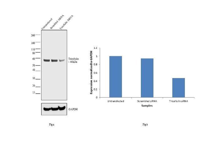 MARVELD2 Antibody in Western Blot (WB)