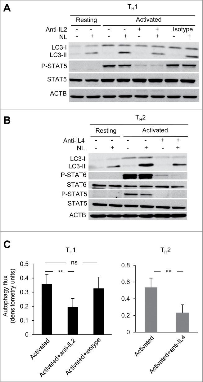 Phospho-STAT6 (Tyr641) Antibody
