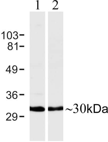 Connexin 30 Antibody in Western Blot (WB)