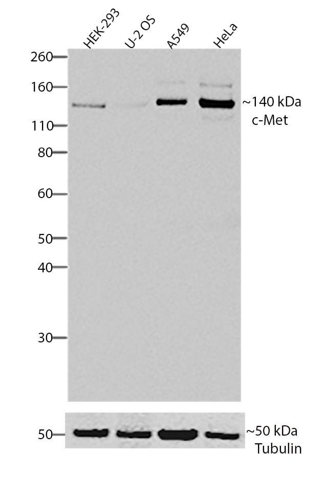 c-Met Antibody in Western Blot (WB)