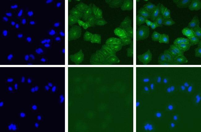 c-Met Antibody in Immunofluorescence (IF)