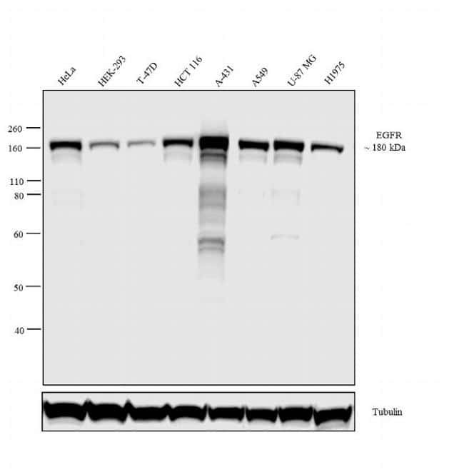 EGFR Antibody in Relative expression