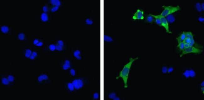 MDA5 Antibody in Immunofluorescence (IF)